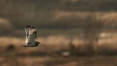 Short-eared Owl in flight (eakoscinska) Tags: birds seo short eared owl flight bird prey sony a7iii 200600