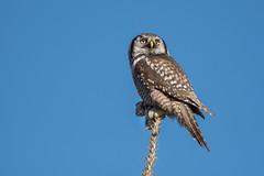 Chouette épervière / Northern Hawk-Owl / Surnia Ulula (anniebevilacqua) Tags: chouetteépervière northernhawkowl surniaulula owl chouette proie prey