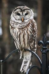 Who? (tim.perdue) Tags: who owl bird avian nature animal nikon z50 nikkor 70300mm feathers plumage closeup backyard barred strix varia fauna midwest ohio westerville columbus
