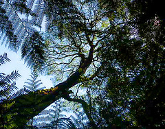 monastra: the tree of life. (Ardan_Dojan) Tags: rainforest tree old sky life hiking walk ferns seed earthpic onewithnature blue green nature naturephotography natural naturaleza naturelover natur otway australia photoart landscape travel travelling holiday silhouette landscapephotography awesome enchanted explore