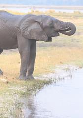 Trunk Drinker (peterkelly) Tags: digital canon 6d africa intrepidtravel capetowntovicfalls botswana chobenationalpark choberiver elephant savannaelephant drinking trunk river water shore shoreline savannahelephant