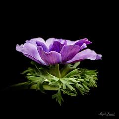 Anemone (Magda Banach) Tags: plants flower macro green nature colors blackbackground flora anemone nikond850