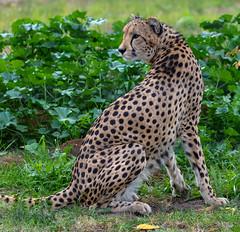 Cheetah (Howard Sumner) Tags: animal arizona bigcat cheetah litchfieldpark wildlifeworldzoo zoo