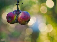 Garden Apple Bokeh | 30. Dezember 2019 | Tarbek - Schleswig-Holstein - Deutschland (torstenbehrens) Tags: garden apple bokeh | 30 dezember 2019 tarbek schleswigholstein deutschland olympus penf 7xef53213mm f28 olympuspenf 7xef53213mmf28