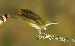 Greenfinch (john neal photography) Tags: bird birds goldfinch greenfinch garden dorset uk nature wildlife finch finches flash sony