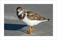 Ruddy Turnstone (prendergasttony) Tags: feet feathers florida nikon d7200 tonyprendergast elements bird birdwatching border birding beak beach sand shadows america avian usa