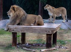 Lions (Howard Sumner) Tags: animal arizona bigcat lion litchfieldpark wildlifeworldzoo zoo