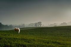 Graze (somewheredowntheroadphoto) Tags: horse graze light green shadows shadow white animal fog foggy rain trees farm field barn barns