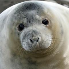Look into my eyes (Barry Potter (EdenMedia)) Tags: barrypotter edenmedia nikon d750 seal ravenscar nikkor24120mmf4