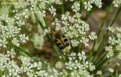 La trichie commune dans son ombellifère (Mont Ventoux - Vaucluse - 16 juin 2019) (Carnets d'un observateur de la nature du Sud de la) Tags: fleur ombellifère nature biodiversité insecte entomologie trichiecommune montventoux vaucluse provence