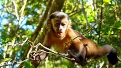 Monkeyland South Africa (svenr67) Tags: 2018 dmcg3 lumix outside panasonic southafrica südafrika travel wildlife animal monkey capuchin sanctuary monkeyland plettenbergbay gardenroute safari