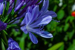 Agapanthus (Markus Branse) Tags: image an agapanthusflower agapanthus schmucklilie lilie pflanze blume bloem blau blue blüten makroobjektiv makro macro lens objektiv flower plant bloom pflanzen grün green natur kübelpflanze sommer