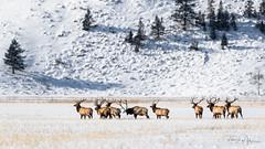 Getting the Point (RH Miller) Tags: rhmiller reedmiller wildlife elk bullelk antlers winter wyoming snow usa postrut