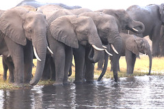 Thirsty Pachyderms (peterkelly) Tags: digital canon 6d africa intrepidtravel capetowntovicfalls botswana chobenationalpark choberiver savannaelephant elephant herd water tusk trunk savannahelephant