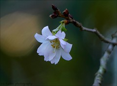 I'm now as free as the breeze.... (itucker, thanks for 5+ million views!) Tags: macro bokeh cherry blossom prunus cherryblossom autumnhigancherry floweringcherry autumnalis dukegardens hmm