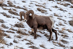 The Ram (Kim Tashjian) Tags: this guy was hanging out nor far from north entrance yellowstone national park