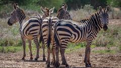 PB180484.jpg (tonyalonso30559) Tags: africa lioness leopards landscape sunset aligators carcasses nationalpark birds masaiwarriors villages amboseli hyena alligators porinilioncamp vultures hippopotamus wildebeest kenya hippos cheetahs buffalos wildlife zebras elephants tentedsafari giraffe impalas lions lizzards masaimara