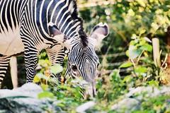 ({Sam~I~am}) Tags: d3300 nikon cute stripes animal wildlife capital smithsoniannationalzoo smithsonian washingtondc washington bw zoo white black zebra