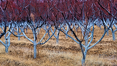 Apple Orchard in December (LDMcCleary) Tags: