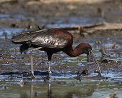 Glossy Ibis at North Lake (WA47) Tags: northlake westernaustralia australia beeliarregionalpark bwa glossyibis plegadis plegadisfalcinellus ciconiiformes threskiornithidae