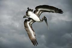 Brown Pelican Dive (Bernie Duhamel) Tags: brownpelican dive fish fishing bird wildlife sonya9 sonyfe100400mm bernie duhamel naples naplesbeach florida overcast water waterfowl shorebird