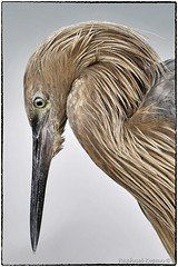 Reddish Egret closeup (RKop) Tags: raphaelkopanphotography fortdesotostatepark florida d500 nikon 600mmf4evr nature bird