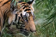 Wild Tiger (Lee532) Tags: tiger wild nature tigersofindia india bandhavgar bengaltiger wildlifephotography centralindia cat bigcat hunter predator upclose tigers nikon d500 tamron150600mm