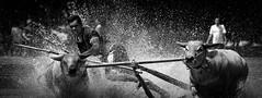 course de taureaux Indonésie (pguiraud) Tags: de course taureaux bull racing asie indonésie asiedusudest sergeguiraud