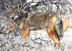 Coyote encounter (thomasgorman1) Tags: coyote nature desert nikon encounter baja animal mexico wildlife looking