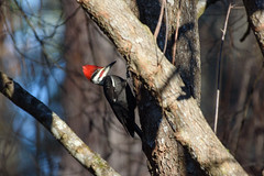 364/365 Pileated Woodpecker Visitor (Maggggie) Tags: bird woodpecker pileatedwoodpecker male tree backyard 365 365the2019edition 3652019