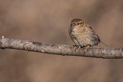 Female house sparrow (Lynn Tweedie) Tags: wood bokeh beak tail wing canon ngc animal female missouri tree bird 5dmarkiv eye sigma150600mmf563dgoshsm eos feathers winter branch