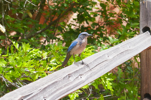 Colorado Springs - Garden of the Gods - Western Scrub Jay