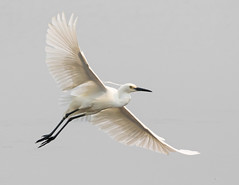 Goodbye 2019 Hello 2020 (christinaport) Tags: littleegret egret flying 2019 2020 happynewyear nsw australia bird birds wild free