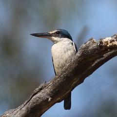 Sacred Kingfisher at North Lake (WA47) Tags: northlake westernaustralia australia beeliarregionalpark bwa sacredkingfisher todiramphus todiramphussanctus coraciiformes halcyonidae
