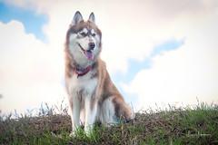 Christmas in Waimea 2019 50 (JUNEAU BISCUITS) Tags: dog siberianhusky husky mansbestfriend pet sonya7riii sony hawaii hawaiiphotographer alaskanmalamute waimea bigisland