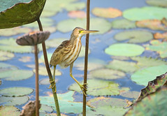 Yellow Bittern (ashockenberry) Tags: reserve rainforest travel tourism tropical habitat nature naturephotography natural native beautiful beauty birding beak birdwatching vacation forest feathers flight scenic landscape light jungle national bird animal ashleyhockenberryphotography yellow bittern wading marina bay satay lotus flower