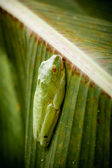 Cruziohylab Calcarifer (SNAPShots by Patrick J. Whitfield) Tags: frogs amphibians costarica honeymoon life light lines patterns texture macro detail dof animals fun outside sanctuary nocturnal shadows sun rain forest tree treefrog yellow green orange colorful colours golden sleep rainforest