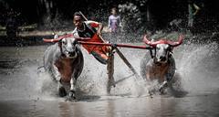 Course de taureaux en Indonésie (pguiraud) Tags: course de taureaux indonésie sergeguiraud asie asiedusudest racing bull