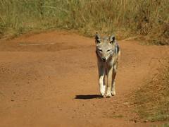 Jackal  /  Jakkals (Pixi2011) Tags: wildlife rietvleinaturereserve southafrica africa wildlifeafrica wildanimals animals nature