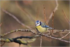Blaumeise (Cyanistes caeruleus) (Maggi_94) Tags: bluetit meise meisen blaumeisen blaumeise cyanistescaeruleus singvögel singvogel passeri vögel vogel aves paridae