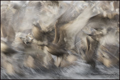 Gull 010 web (DAMON WEST www.damonwestphotography.com) Tags: seabird gull bc britishcolumbia canada nature wildlife bird