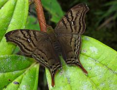 Hypanartia dione (hippobosca) Tags: butterfly ecuador nymphalidae hypanartiadione macro insect lepidoptera