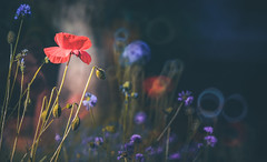 wildflower (Dhina A) Tags: sony a7rii ilce7rm2 a7r2 a7r minolta rf rokkorx 250mm f56 mirror reflex minolta250mmf56 md prime rokkor bokeh manualfocus lens poppy wildflower wild flower