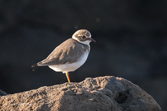 Ringed Plover - Juvenile? 502_3059.jpg (Mobile Lynn) Tags: waderswetlandbird birds ringedplover plover nature bird charadriiformes charadriushiaticula coastal commonringedplover fauna shorebird shorebirds wader waders wetland wetlandbirds wildlife yaiza canaryislands spain coth specanimal coth5 ngc sunrays5 npc
