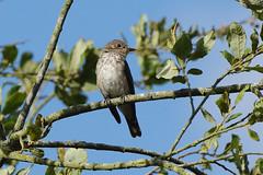 K32P3836aa  Spotted Flycatcher, Lackford Lakes, September 2019 (bobchappell55) Tags: lackfordlakes muscicapastriata suffolk bird nature spottedflycatcher wild wildlife
