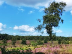 Cannock chase (kate willmer) Tags: tree summer heather clouds sky bushes moorland sunshime uk