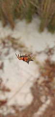 Austracantha minax_3 (Tony Markham) Tags: austracanthaminax jewelspider christmasspider spider arachnid lake wetland ramsar culburrabeach shoalhaven berejiklianbushfires lakewollumboola