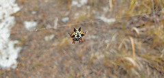Austracantha minax_1 (Tony Markham) Tags: austracanthaminax jewelspider christmasspider spider arachnid lake wetland ramsar culburrabeach shoalhaven berejiklianbushfires lakewollumboola
