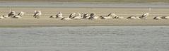 Pelecanus conspicillatus (Tony Markham) Tags: pelecanusconspicillatus australianpelican pelican lake wetland ramsar culburrabeach shoalhaven berejiklianbushfires lakewollumboola