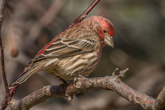 IMG_2580 male house finch (starc283) Tags: starc283 bird birding birds flickr flicker finch housefinch malehousefinch nature naturesfinest naturewatcher